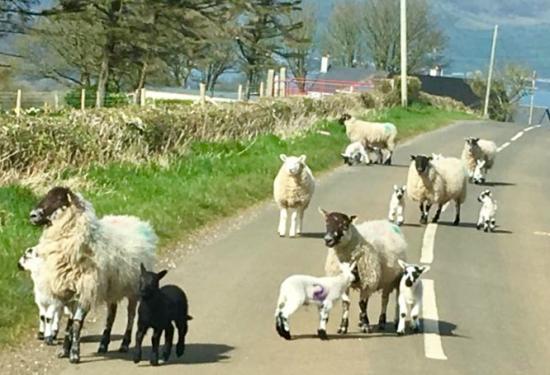 Mouton irlande